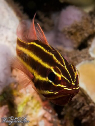 Yellow-black Striped Cardinalfish (Apogon nigrofasciatus)... by Marco Waagmeester 